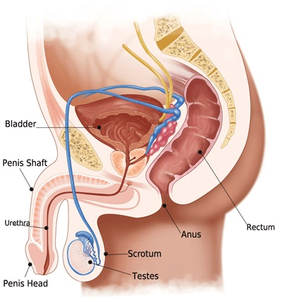 male-anatomy-diagram.jpg